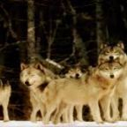 Wolves: Hunting Affects Stress, Reproduction, and Sociality