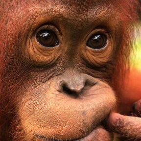 Should apes have rights?